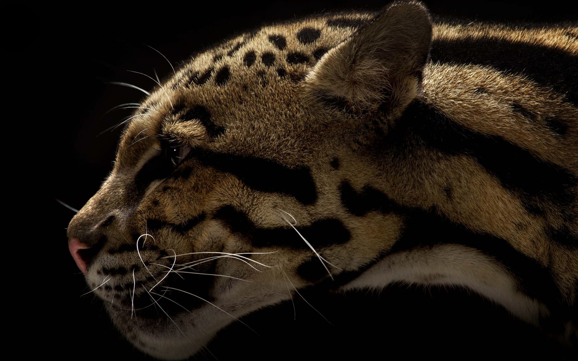 Leopard Print Wallpaper Iphone Clouded Leopard Full Hd Wallpaper And Background Image