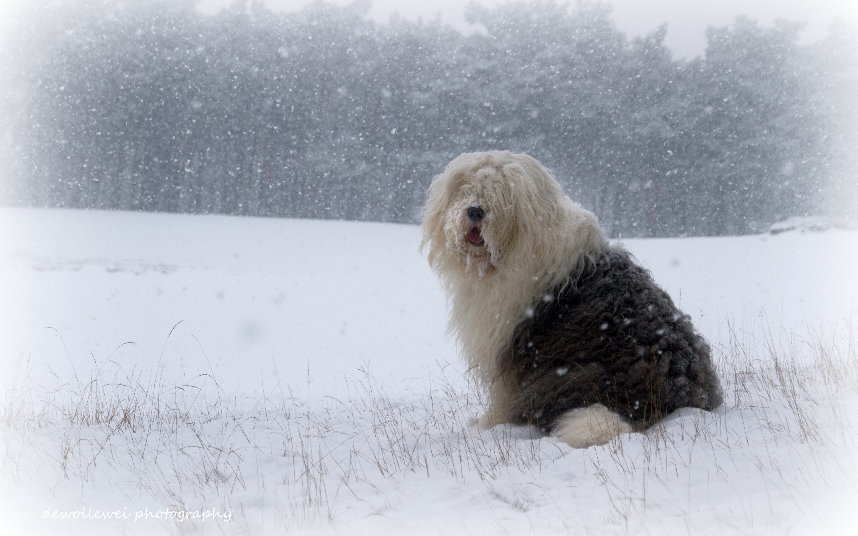 Cute Wallpapers Puppy Drawing 10 Old English Sheepdog Hd Wallpapers Backgrounds