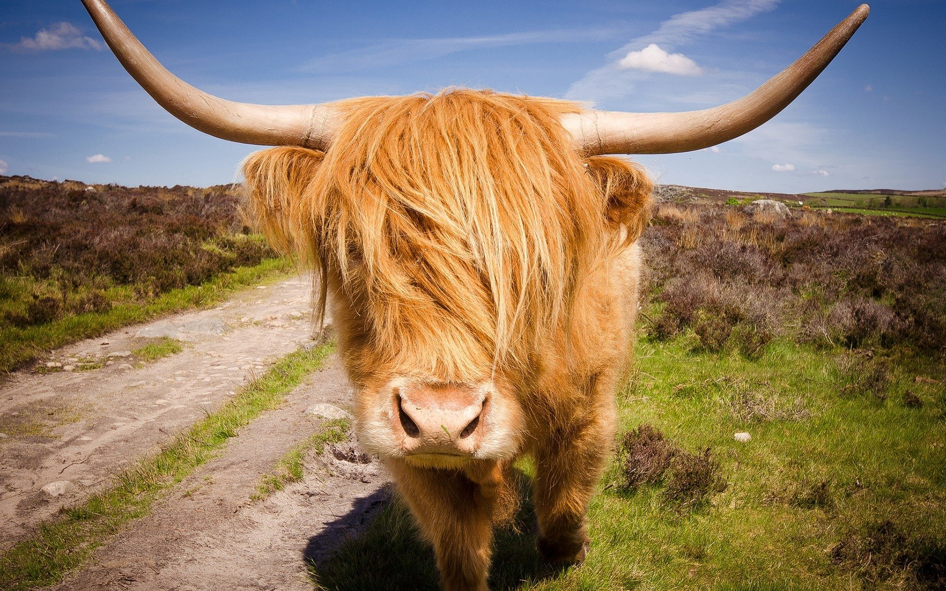 Pc Cartoon Fall Wallpapers Highland Cattle Hd Wallpaper Background Image