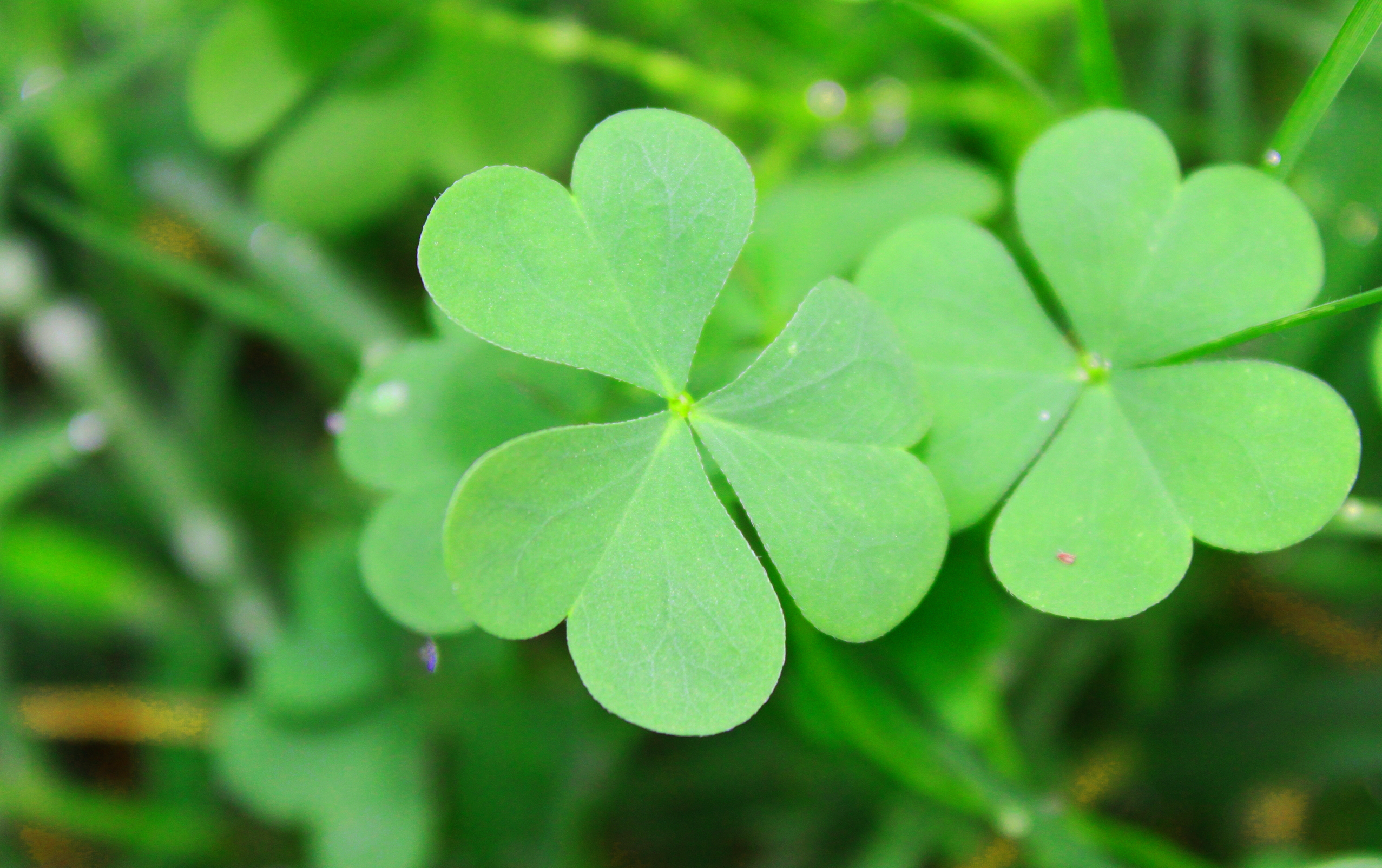 St Patricks Day Wallpaper Iphone Clover Full Hd Wallpaper And Background Image 2554x1604
