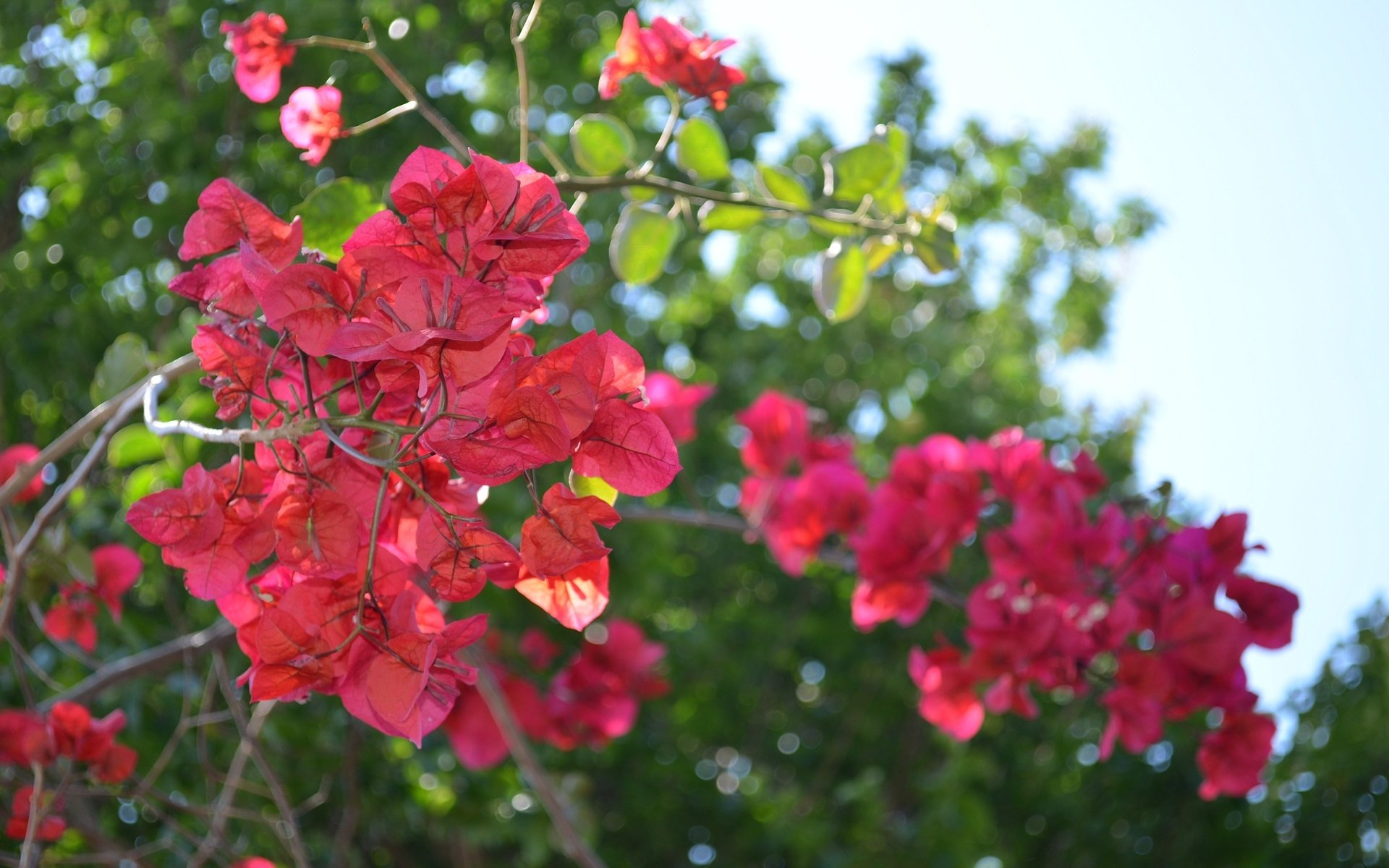 Bougainvillea Wallpaper A Beautiful Bougainvillea Tree Bougainvillea Glabra Hd Wallpaper