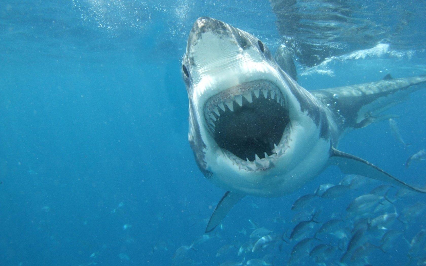 Fullsize Of Great White Shark Wallpaper
