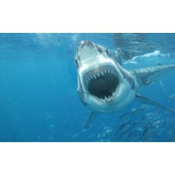 Small Crop Of Great White Shark Wallpaper