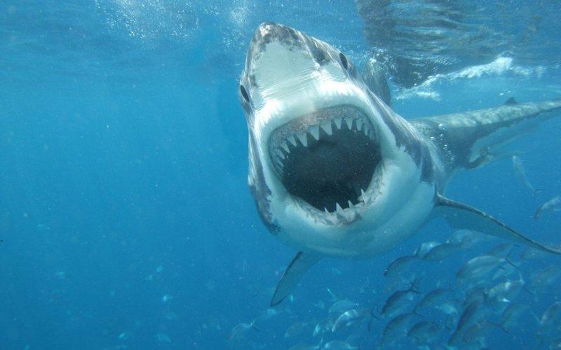 Large Of Great White Shark Wallpaper