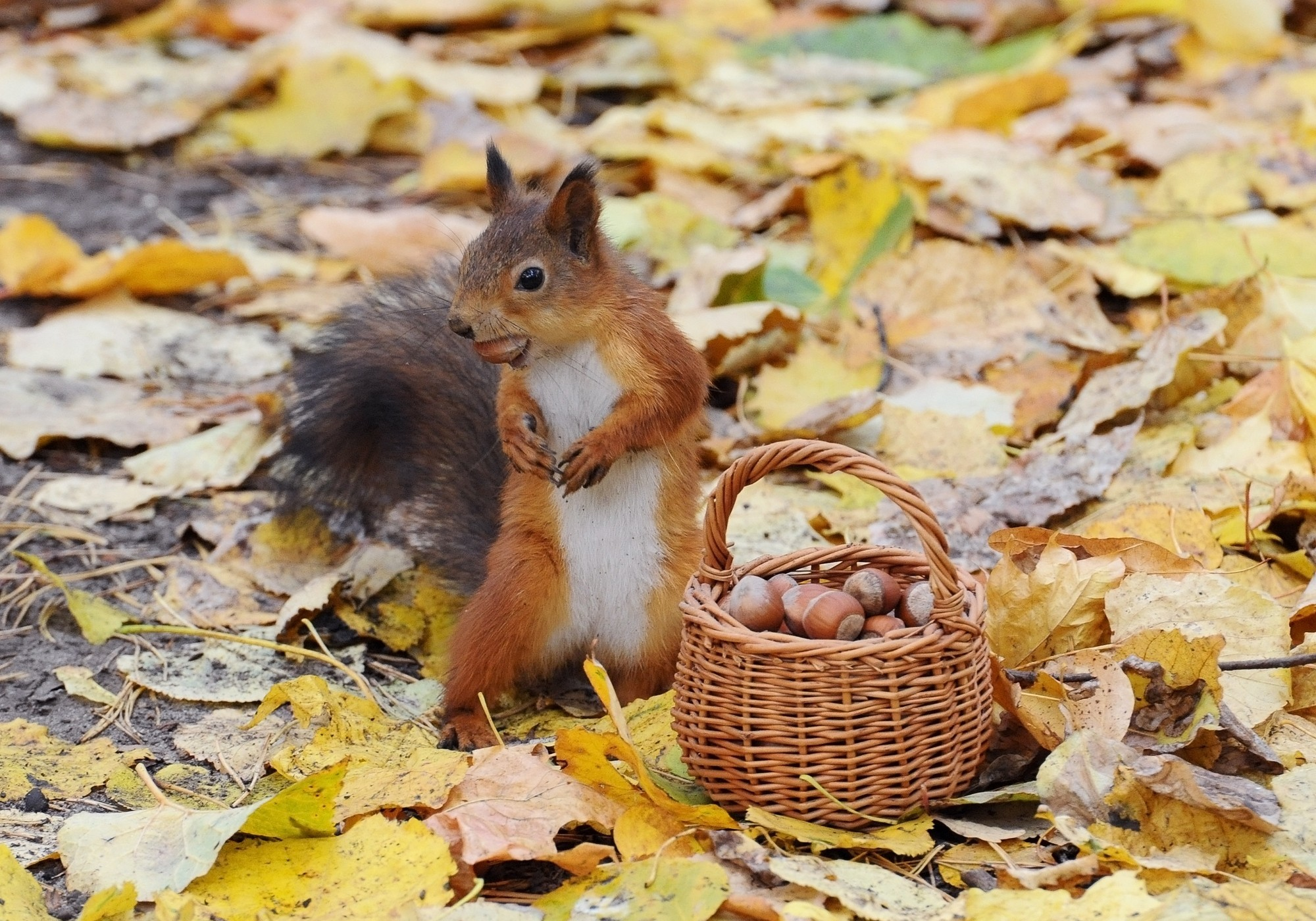 Fall Wallpaper For Iphone 6 Plus Squirrel Computer Wallpapers Desktop Backgrounds