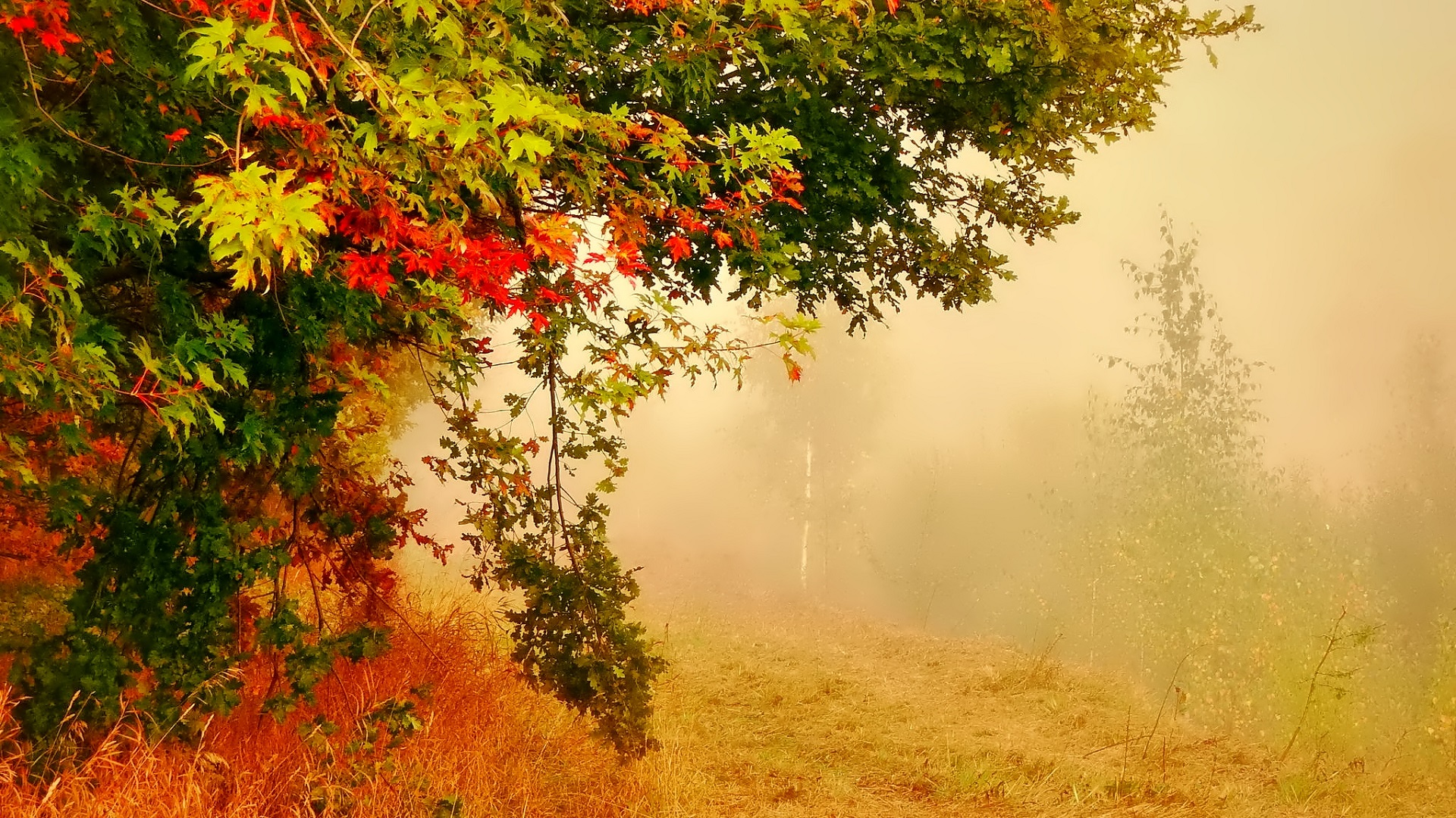 Free Fall Mums Wallpaper Tree In Foggy Autumn Forest Hd Wallpaper Background