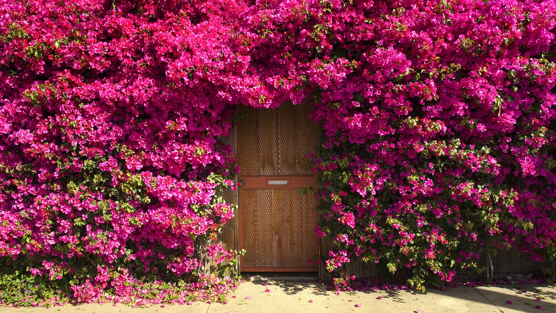 Bougainvillea Wallpaper Bougainvillea Around Door Of House Hd Wallpaper Background Image