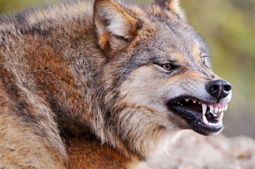 Medium Of Wolf Vs Dog