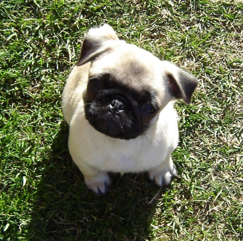 Fullsize Of Cute Pug Puppies Large
