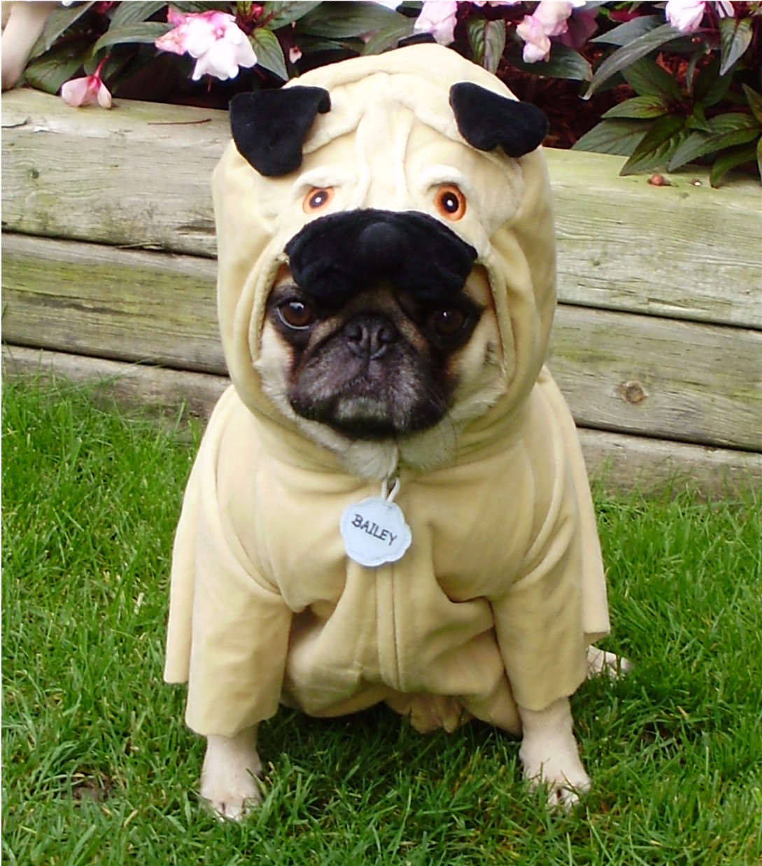 Fullsize Of Pug In Costume