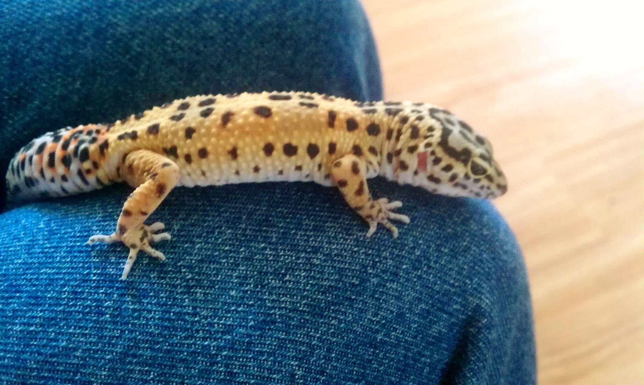 Cute Leopard Gecko Wallpaper Lizards Images My Leopard Gecko Hd Wallpaper And