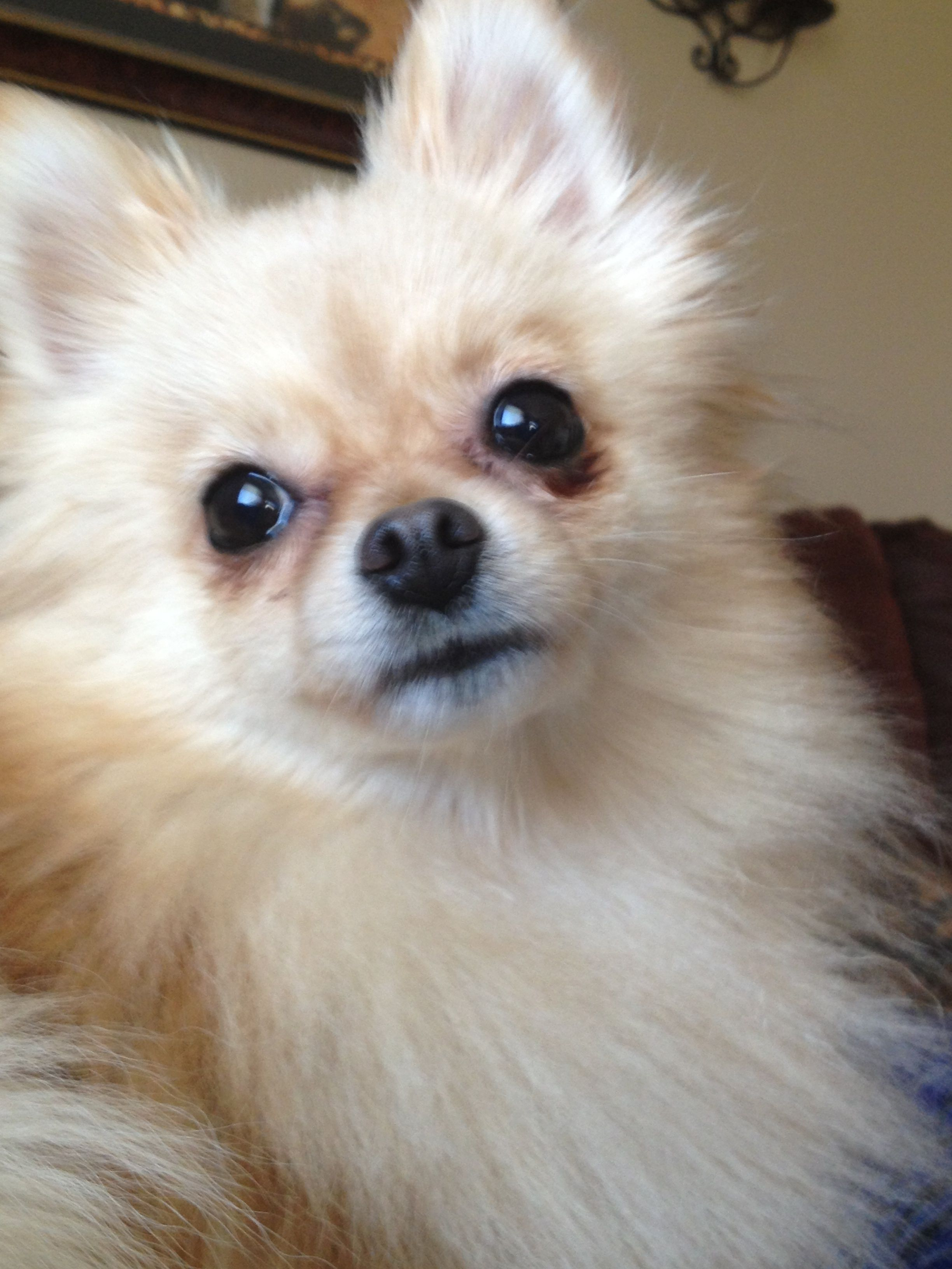 Pomeranians images pomeranian hd wallpaper and background