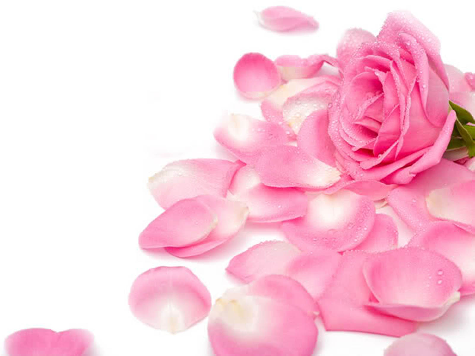Falling Rose Petals Wallpaper Roses Images Pretty Pink Roses Hd Wallpaper And Background