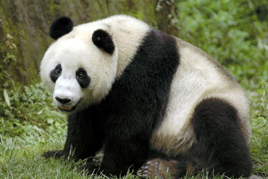 Cute Ducks In Water Wallpaper Animals Images Cute Panda Bears Hd Wallpaper And