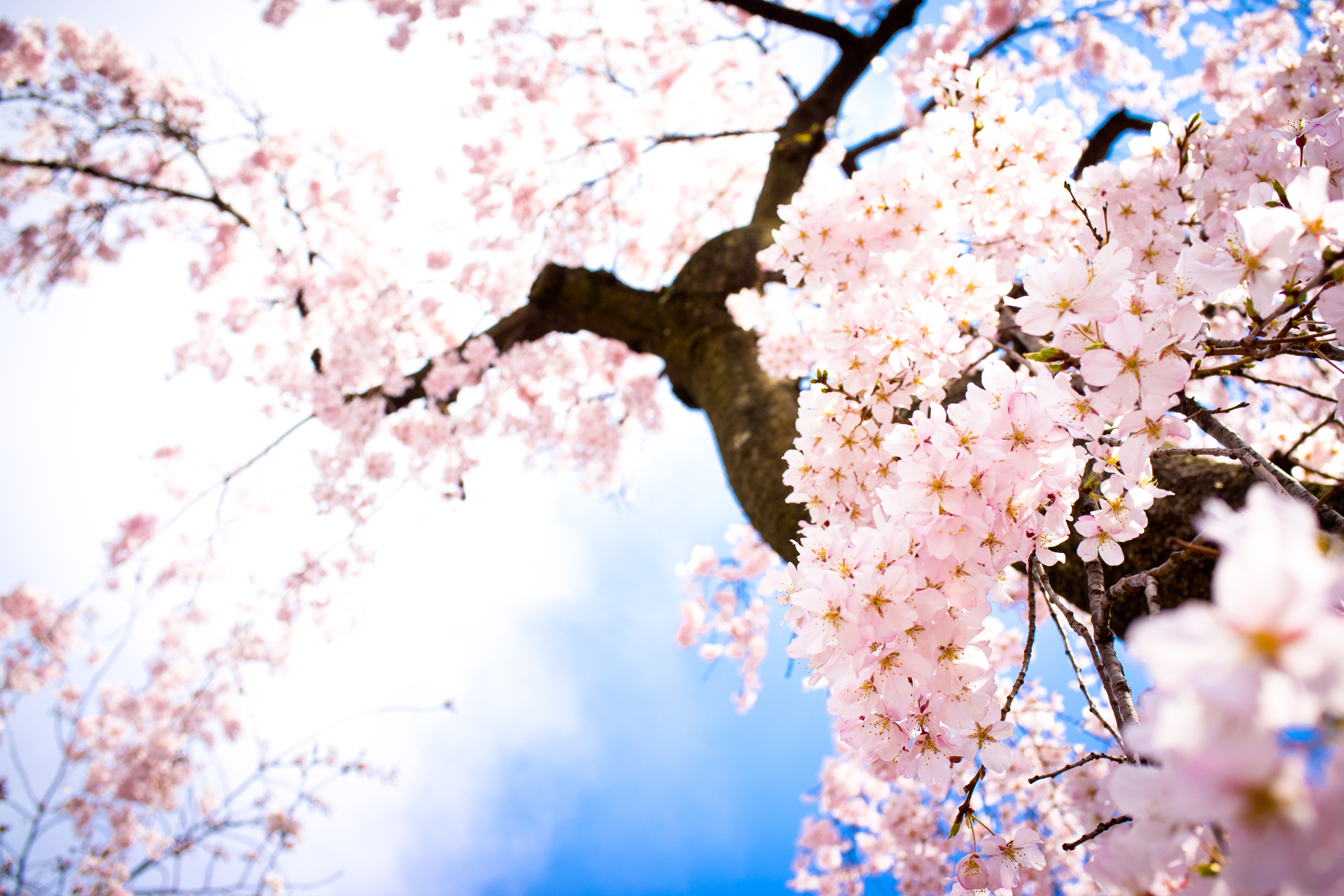 Wallpapers Cherry Blossom Cherry Blossom Images Beautiful Cherry Blossom Hd Wallpaper And