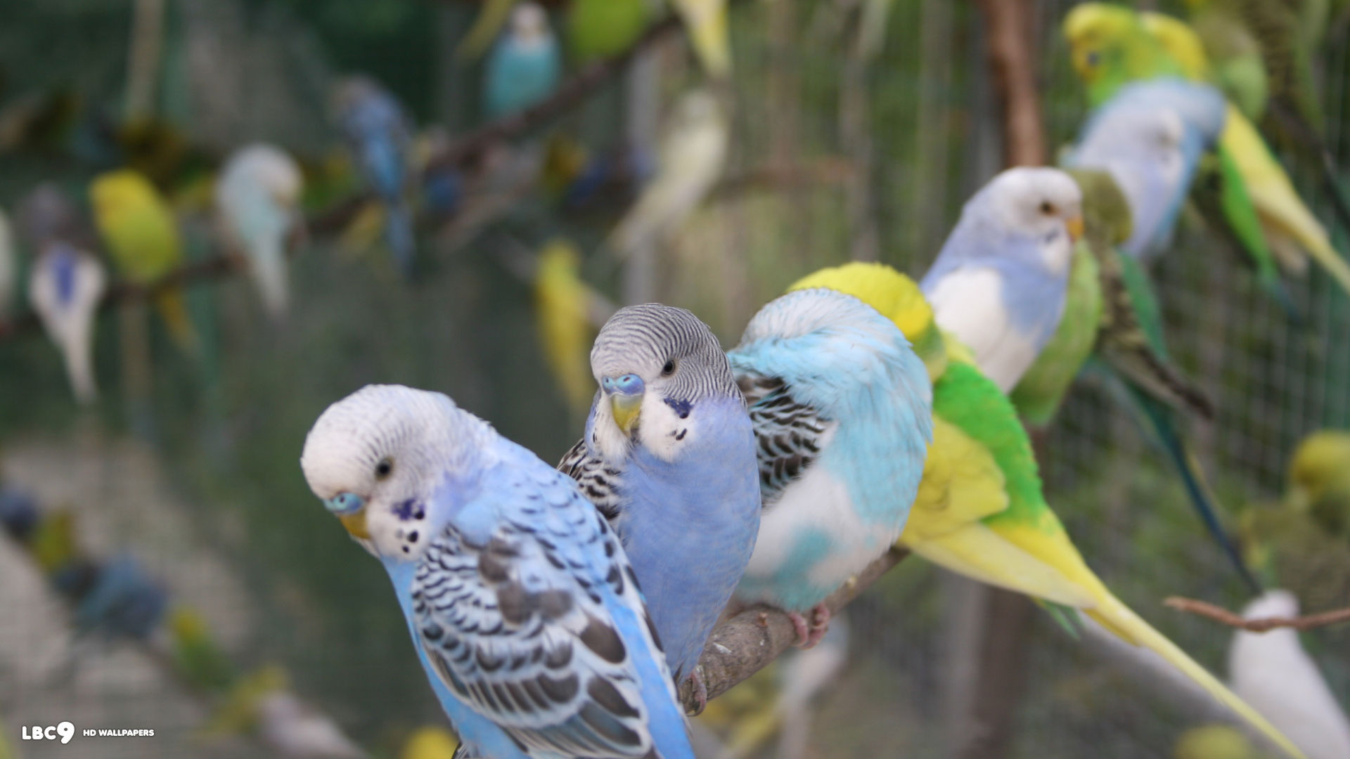 Cute Small Baby Wallpapers Hd Budgies Images Flock Of Budgies Hd Wallpaper And