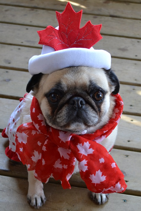 Cute St Patricks Day Wallpaper Pug Love Photos Of Pugs Images Canada Day Pug Wallpaper