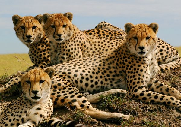 3d Animated Walking Girl Live Wallpaper Coolwolf And Cheetahgirl Cousins Forever Images Cheetah