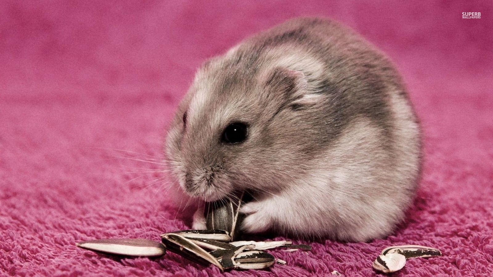 Cute Cartoon Hd Wallpapers Free Download Hamster Animals Wallpaper 38674647 Fanpop