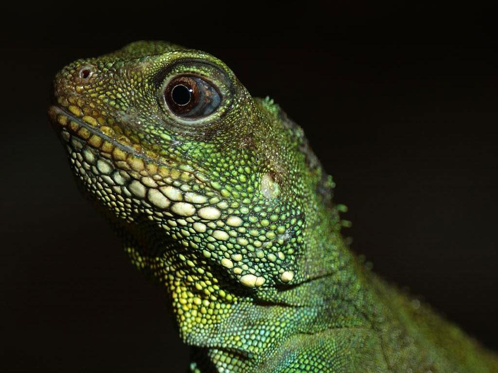 Cute Leopard Gecko Wallpaper Lizards Images Lizard Hd Wallpaper And Background Photos