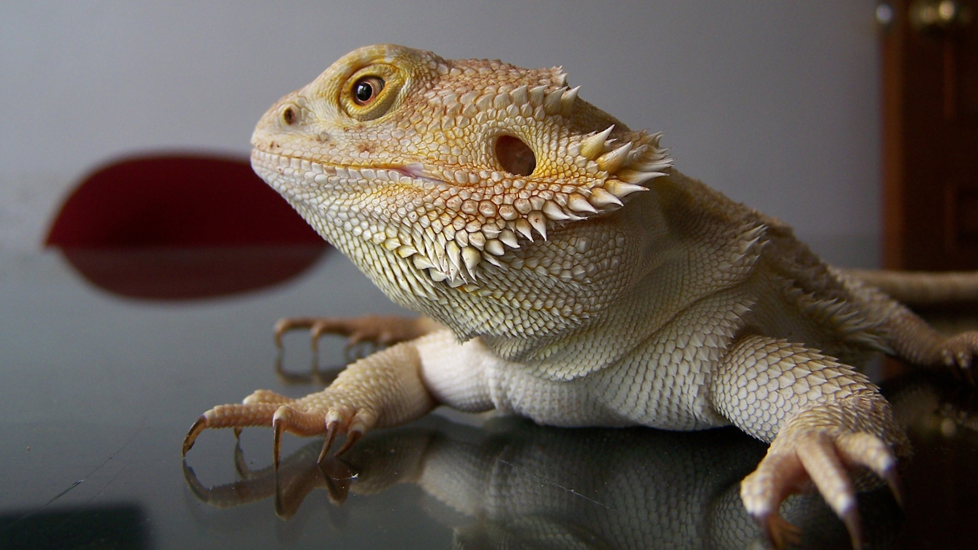 Cute Leopard Gecko Wallpaper Lizards Images Bearded Dragon Hd Wallpaper And Background