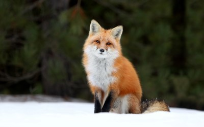 Red Foxes images Red Fox HD wallpaper and background photos (40437478)