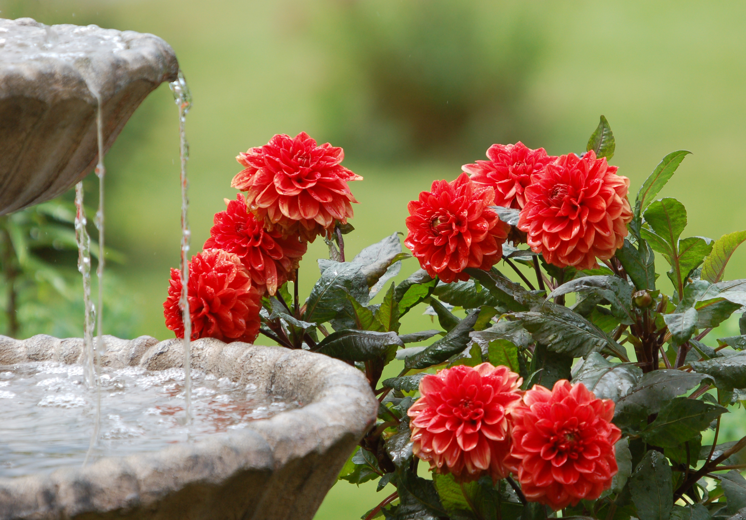 Red Iphone 7 Plus Wallpaper Dahlias And Water Fountain Full Hd Wallpaper And