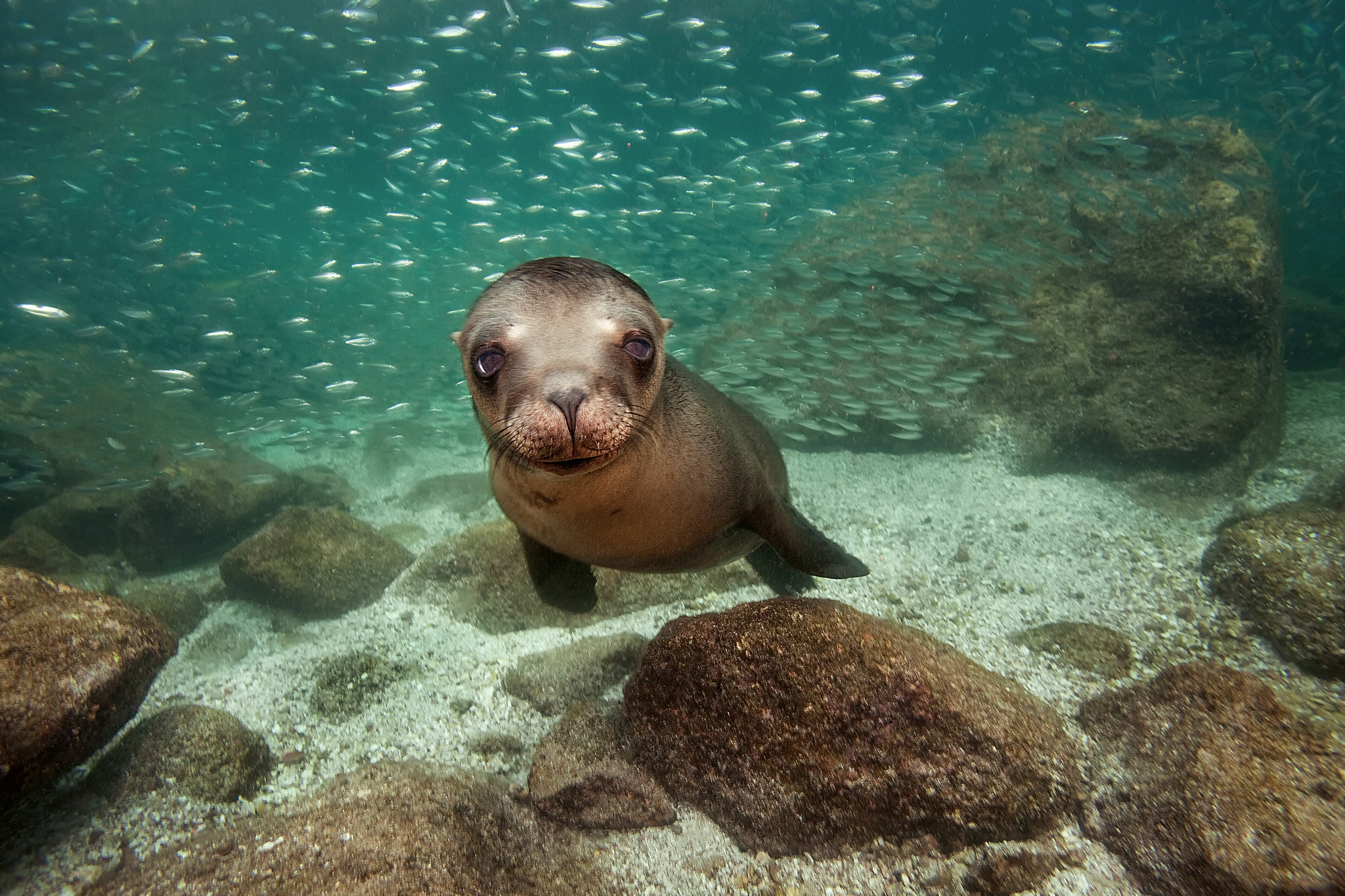 Cute Iphone 7 Plus Wallpaper Sea Lion Full Hd Wallpaper And Background Image