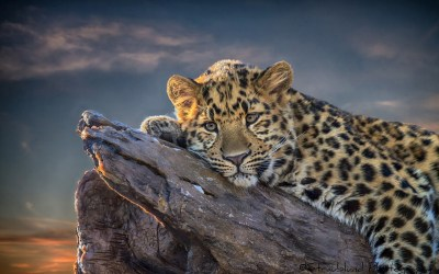 Leopard HD Wallpaper | Background Image | 1920x1200 | ID:345334 - Wallpaper Abyss