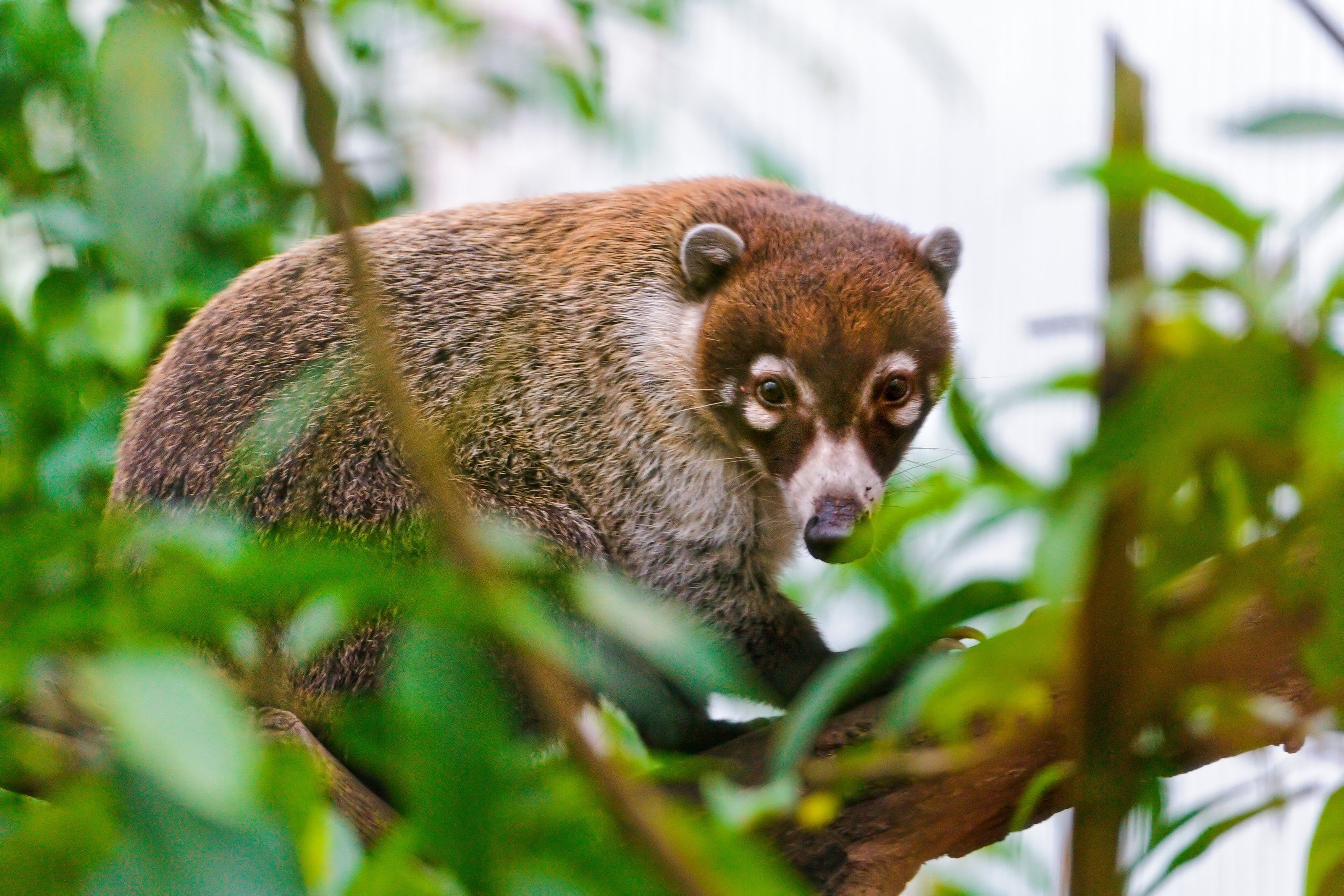 Tiger Animal Wallpaper 3 Coati Hd Wallpapers Background Images Wallpaper Abyss