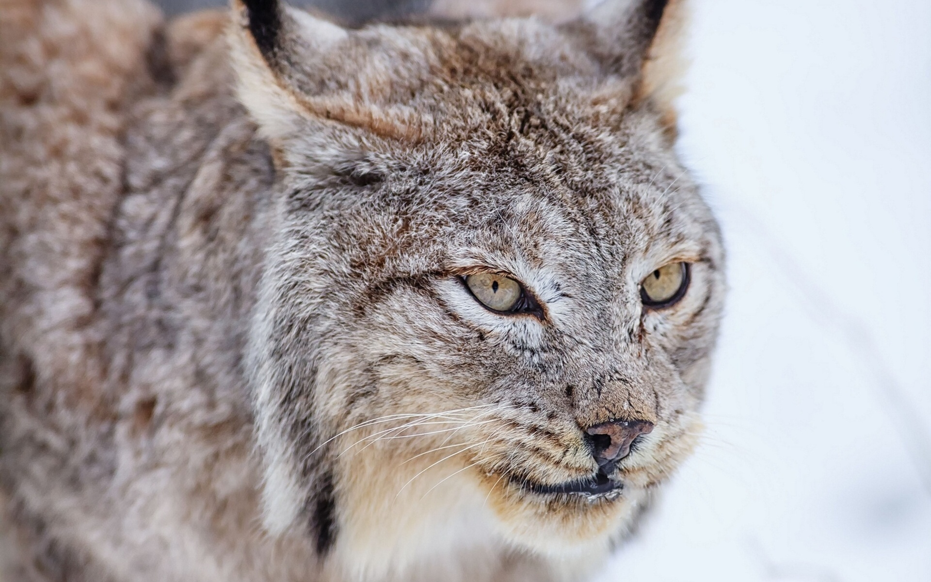 Iphone X Wallpaper 4k Live Lynx Full Hd Wallpaper And Background Image 1920x1200