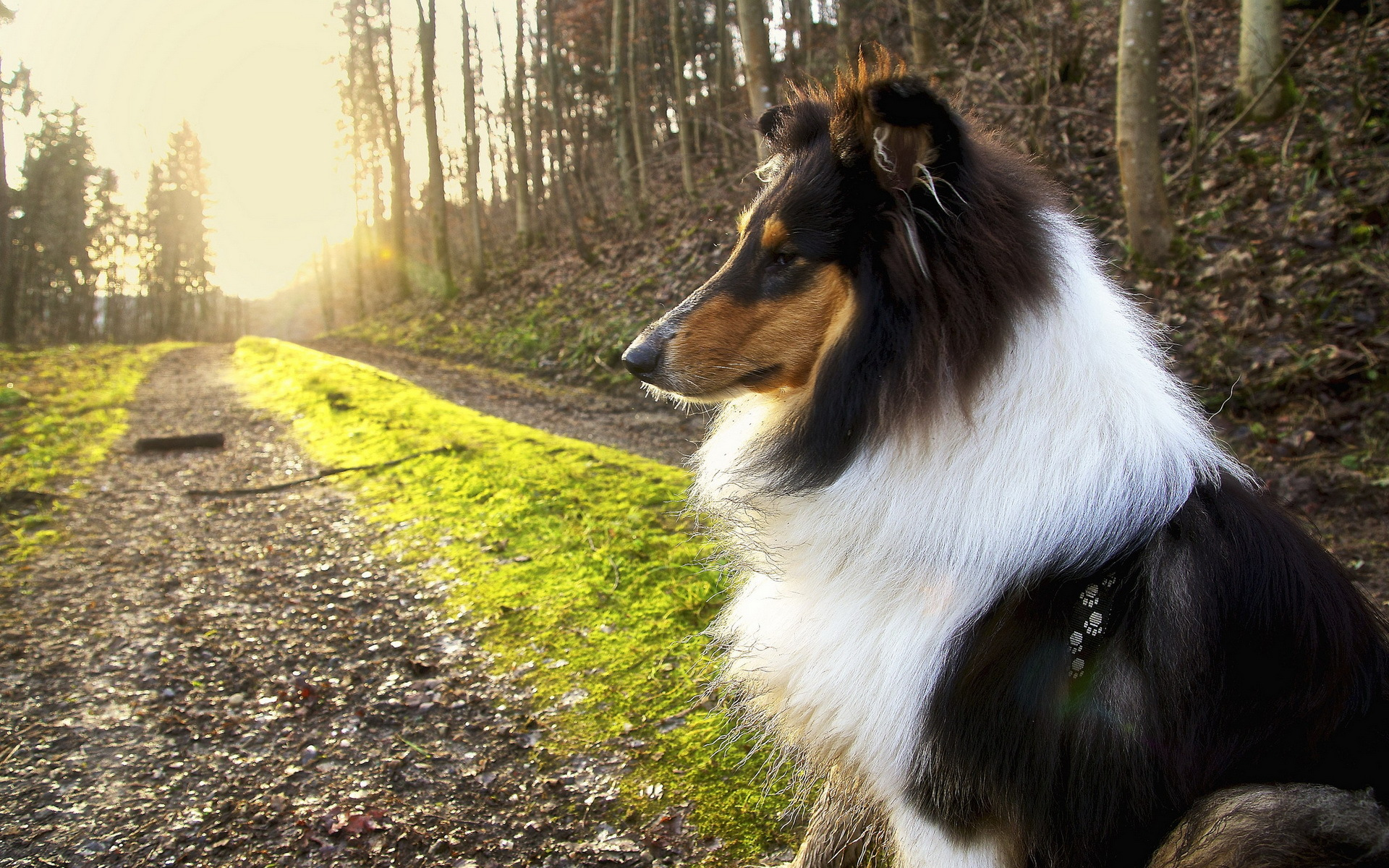 Iphone X Wallpaper With Border Rough Collie Full Hd Wallpaper And Background Image