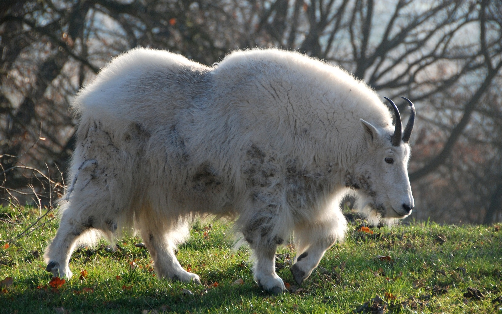 Cool Wallpapers For Iphone 7 Mountain Goat Wallpaper And Background Image 1600x1000