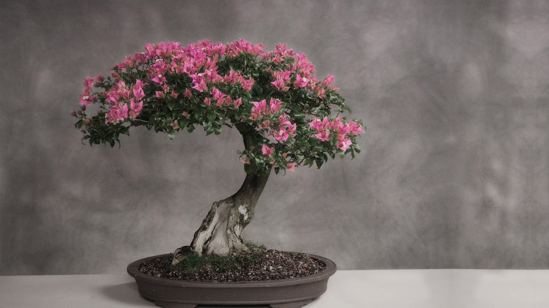 Bonsai Aarde Bonsai Hd Wallpaper Achtergrond 1920x1080 Id 427521