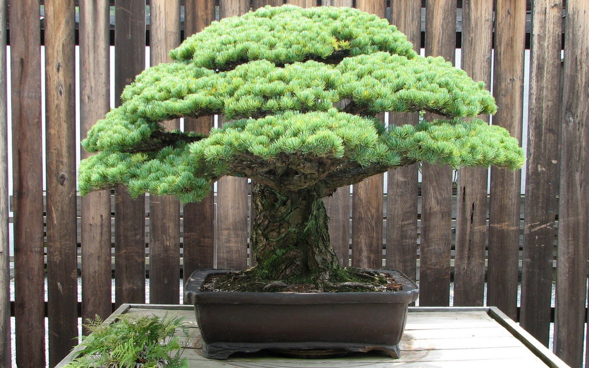 Bonsai Aarde Bonsai Hd Wallpaper Achtergrond 1920x1200 Id 430721