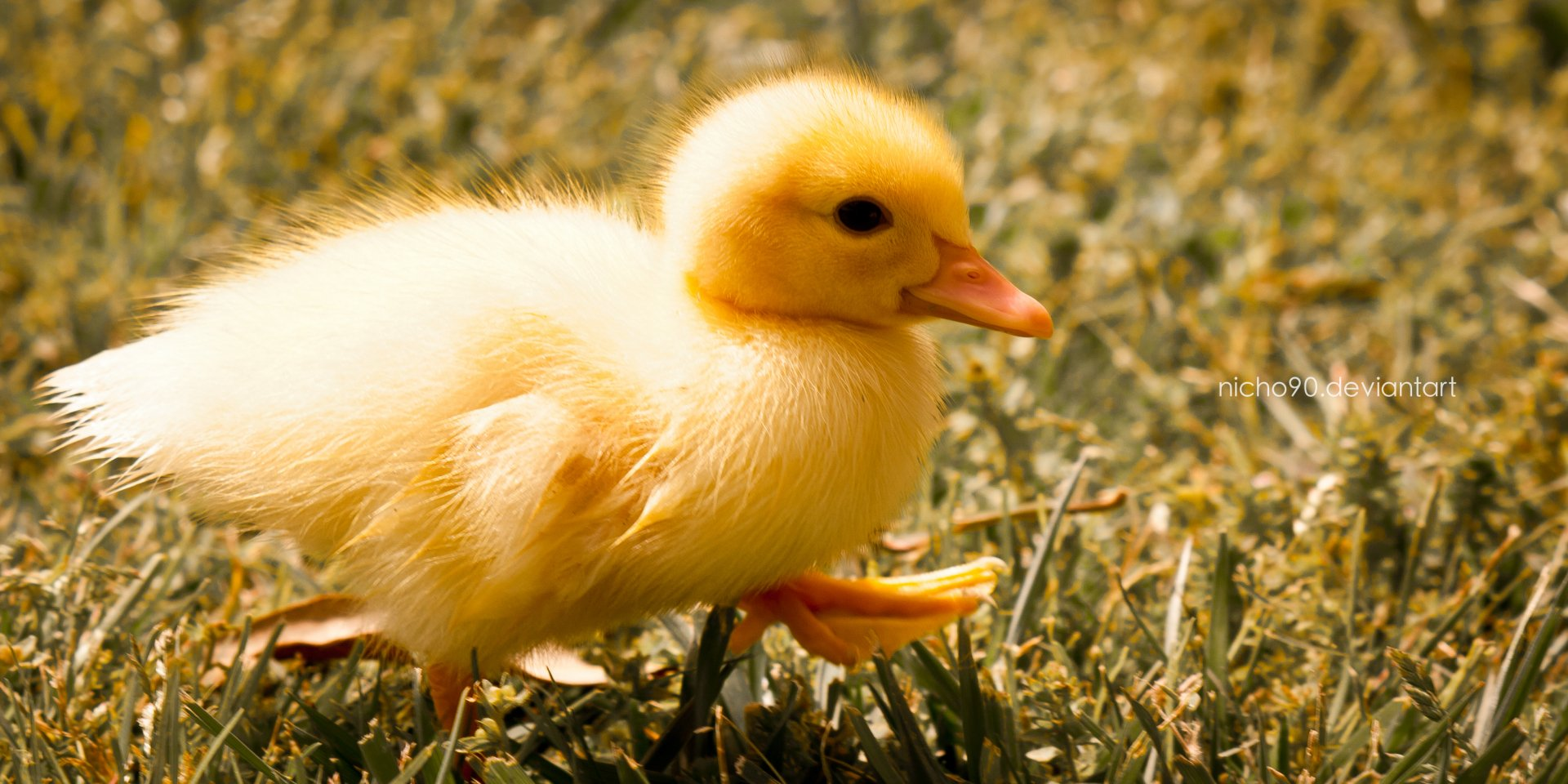 Cute Ducks In Water Wallpaper Duckling Full Hd Wallpaper And Background Image