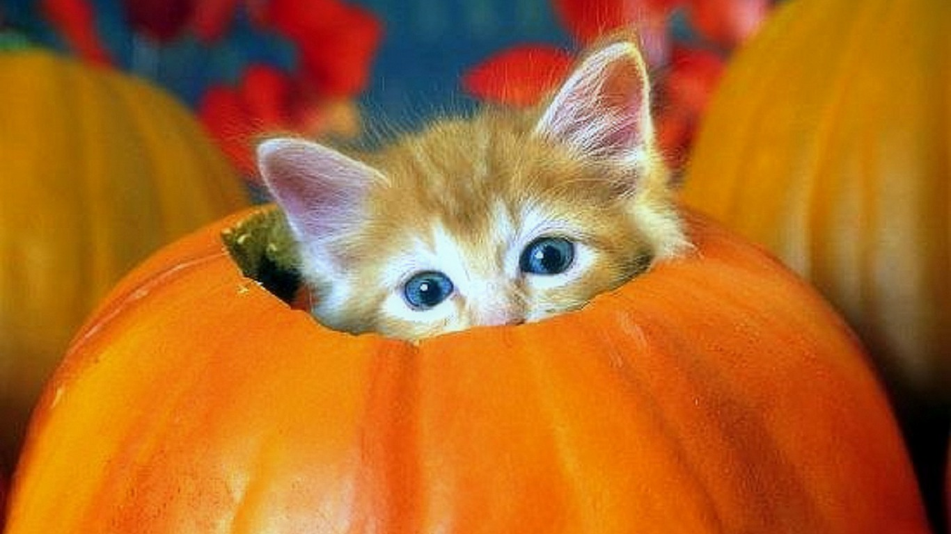 Free Fall Pumpkin Desktop Wallpaper Halloween Kitten Wallpaper And Background Image 1366x768