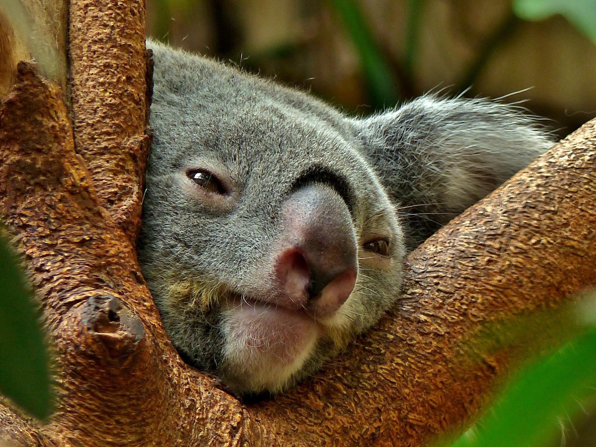 Koala Quotes Wallpapers Koala Computer Wallpapers Desktop Backgrounds 2048x1536