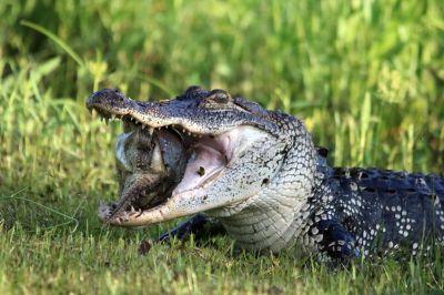 Alligator 5k Retina Ultra HD Wallpaper   Background Image   6000x4000   ID:637140 - Wallpaper Abyss