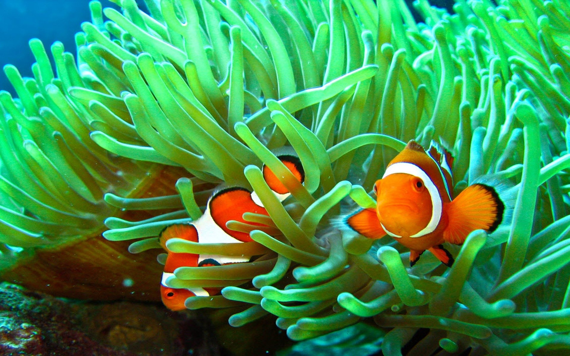 Clown Fish Wallpaper Iphone 6 Plus Two Clownfish In Sea Grass Full Hd Wallpaper And