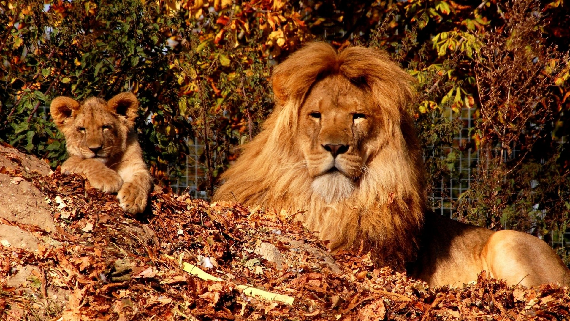 Fall Baby Animal Wallpaper Lion And His Cub 4k Ultra Hd Wallpaper Background Image