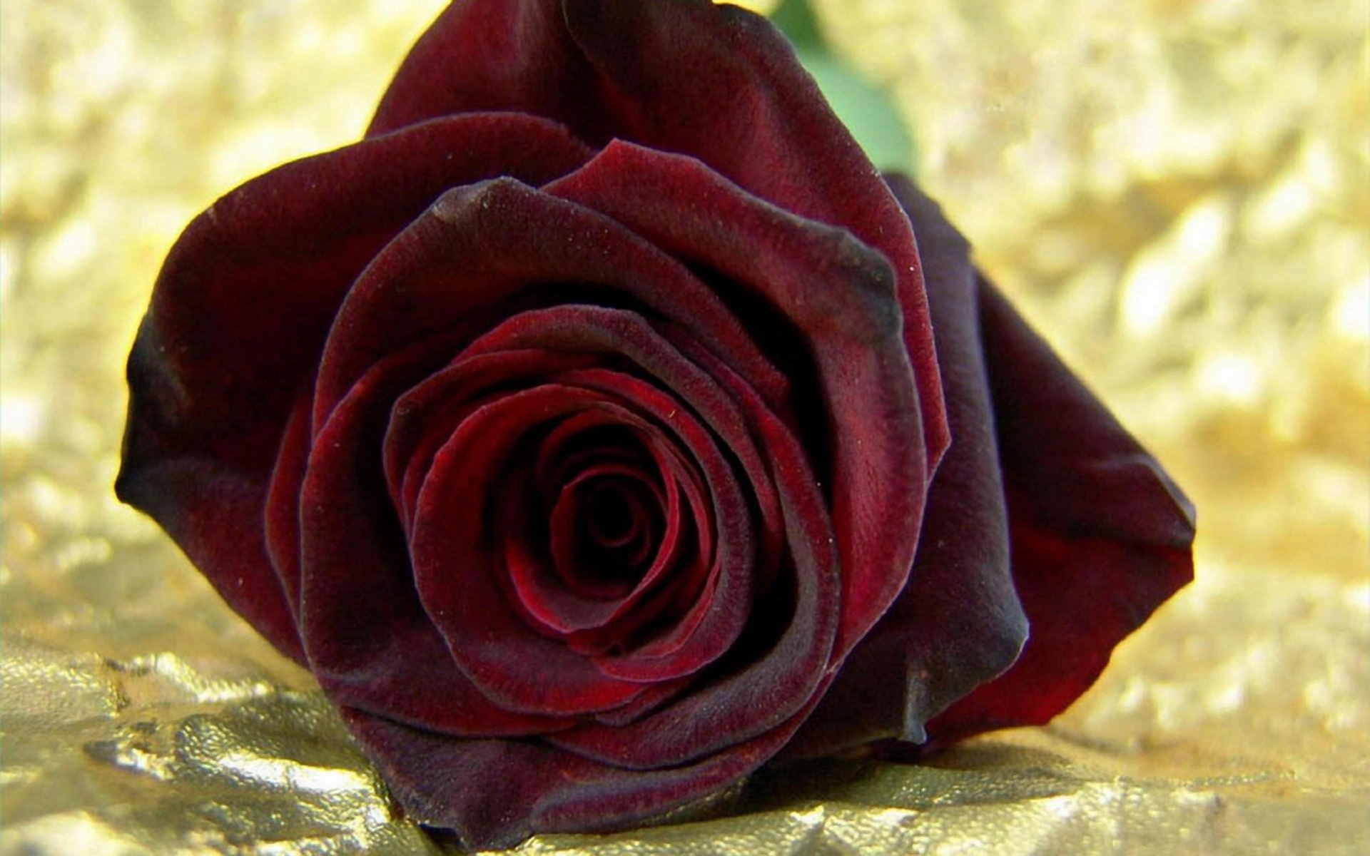 Red Iphone 7 Plus Wallpaper Deep Red Rose Full Hd Wallpaper And Background 1920x1200
