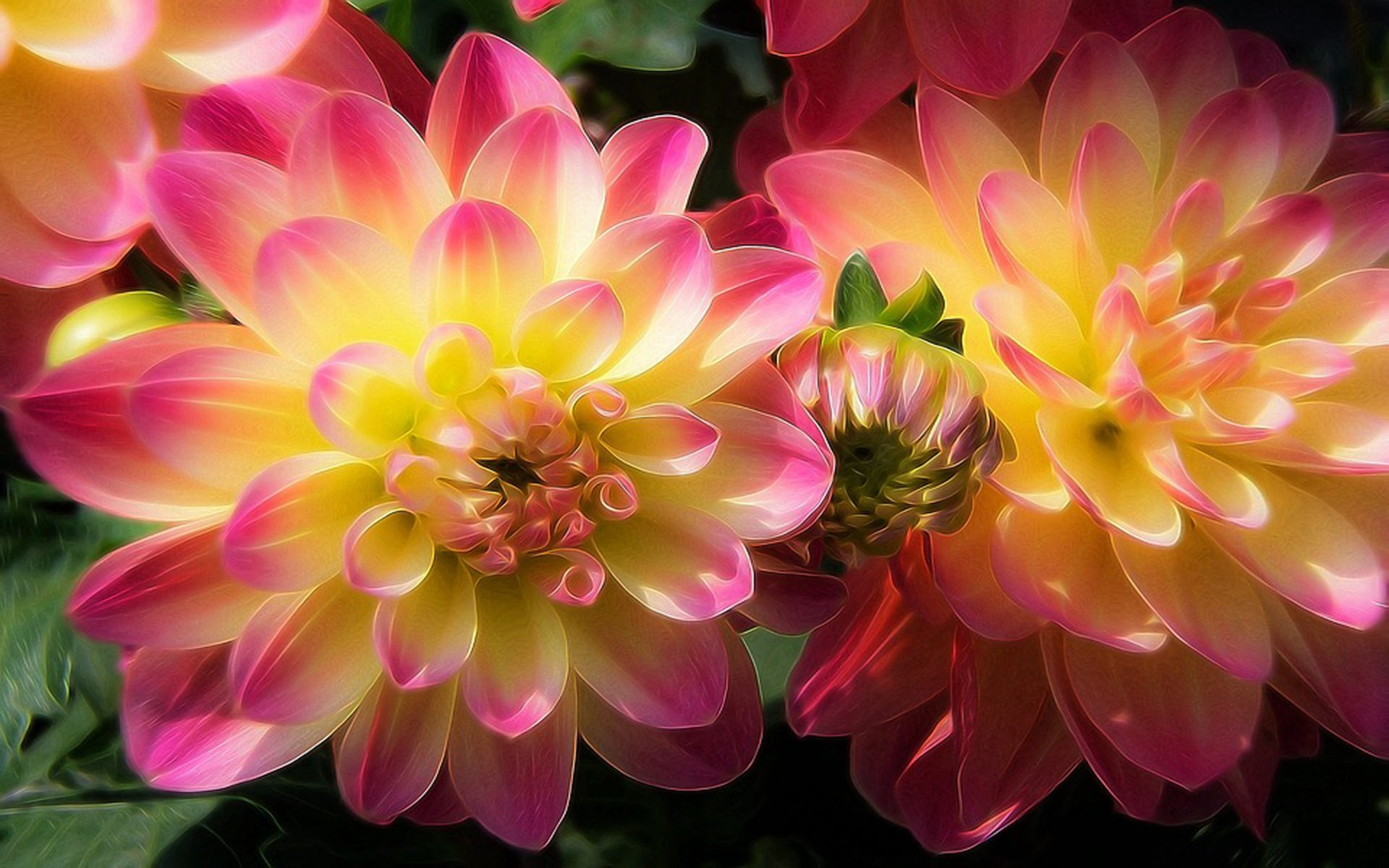 Cool Wallpapers Hd Iphone 7 Pink Dahlias Hd Wallpaper Background Image 1920x1200