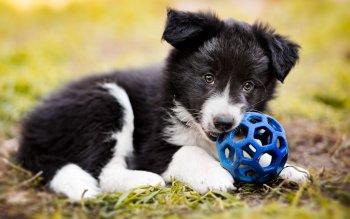 Cute Puppies Wallpaper Backgrounds 261 Border Collie Fonds D 233 Cran Hd Arri 232 Re Plans