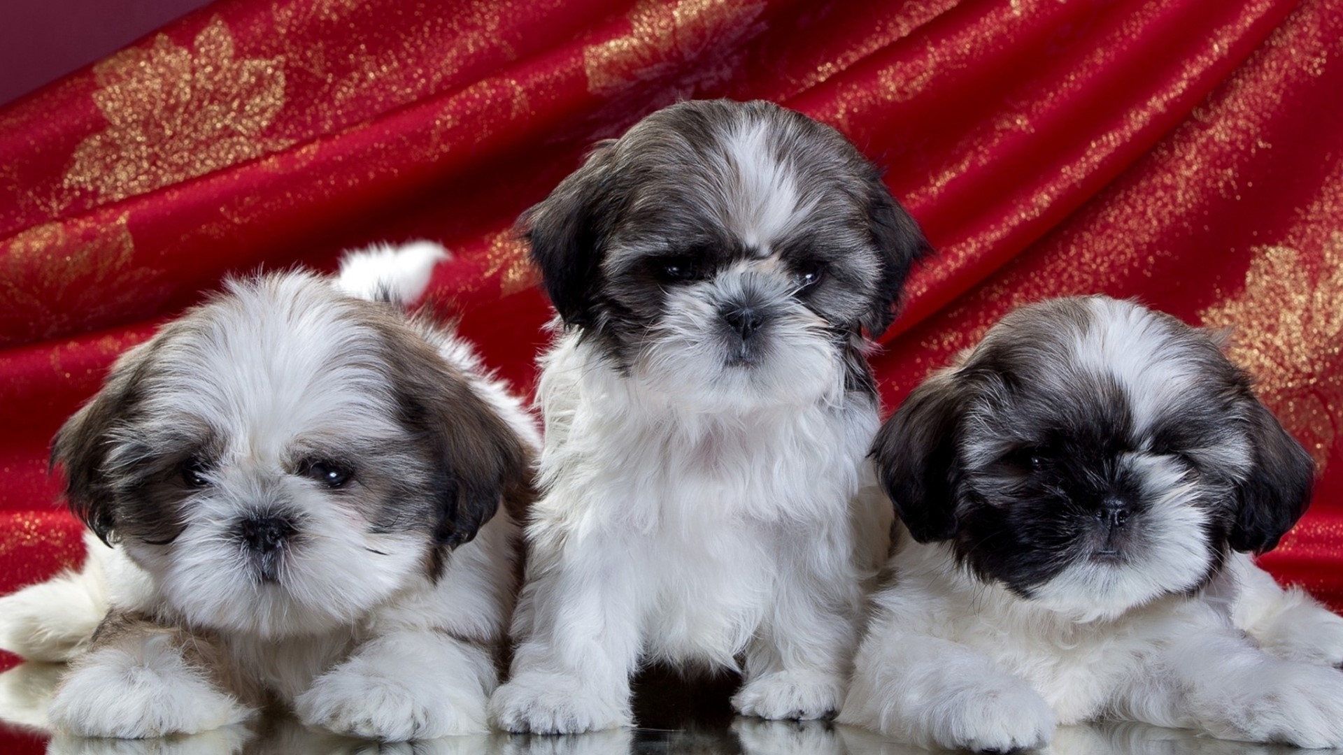 Shih Tzu Wallpaper Iphone Shih Tzu Puppies Fond D 233 Cran Hd Arri 232 Re Plan