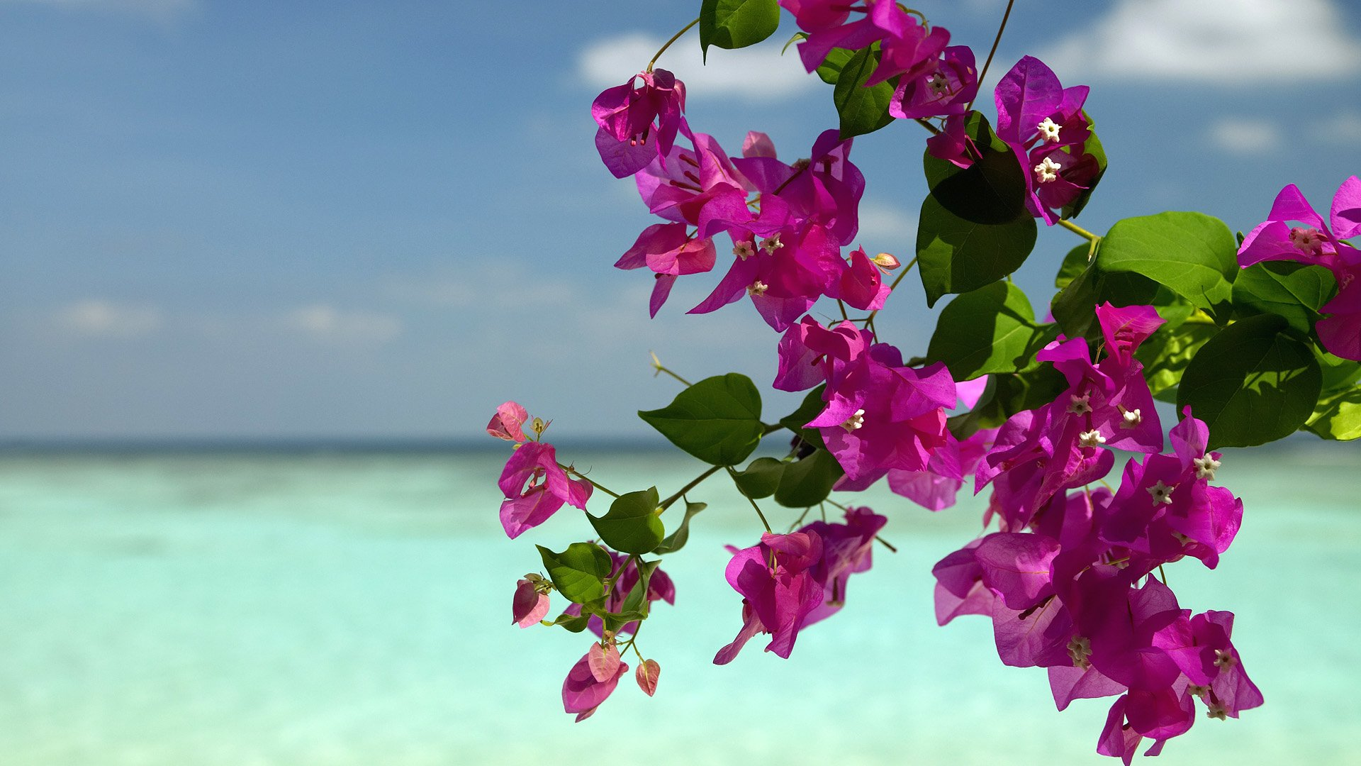 Bougainvillea Wallpaper Bougainvillea Hd Wallpaper Background Image 1920x1080 Id