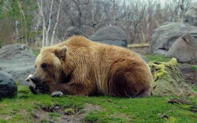 4 Eastern Brown Bear HD Wallpapers | Background Images ...