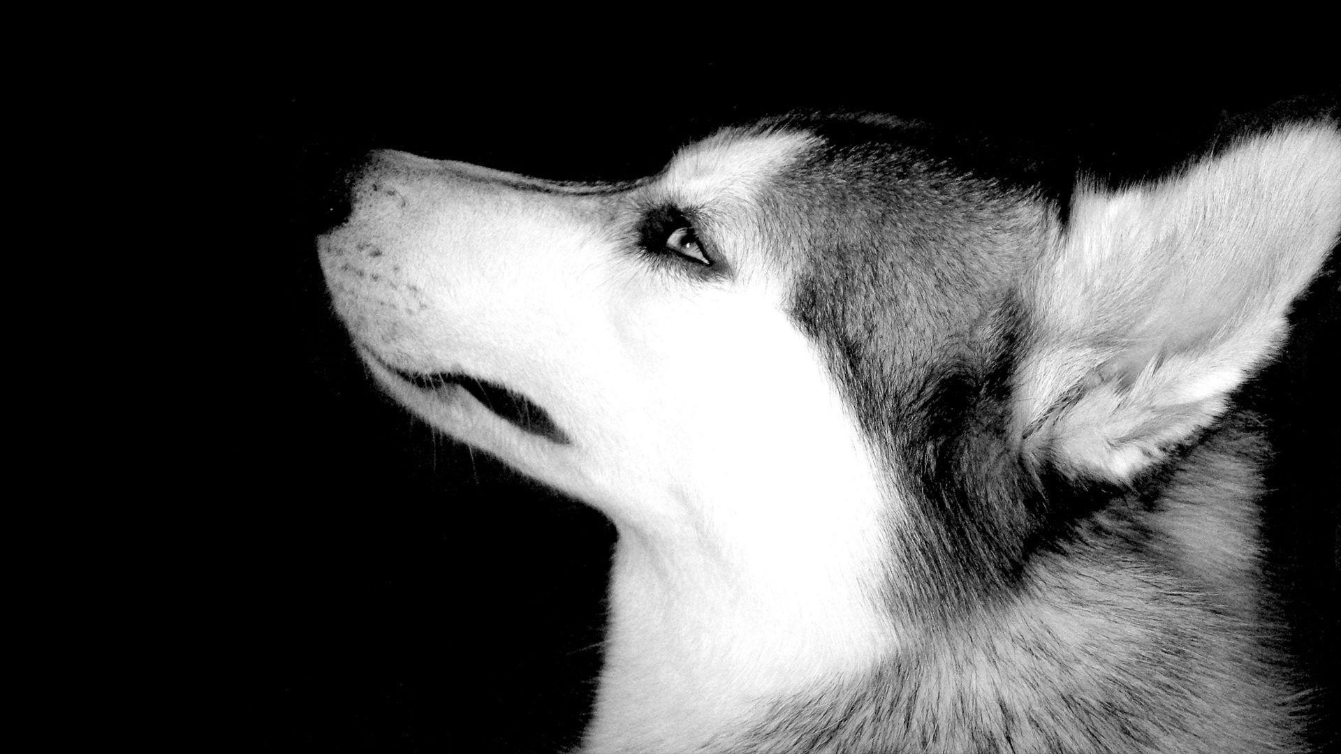 Husky Dog Hd Wallpapers Husky Full Hd Wallpaper And Background Image 1920x1080