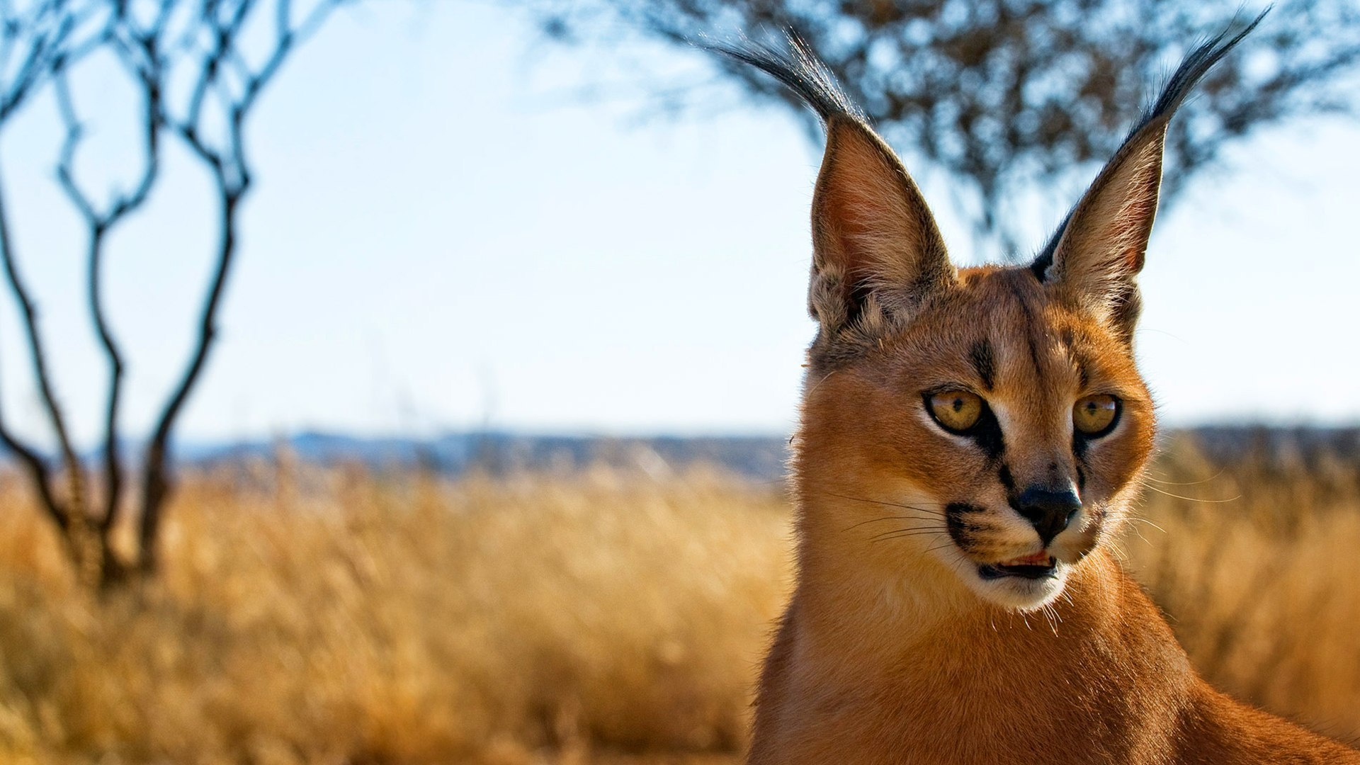Cute Cat Hd Wallpaper Download 31 Caracal Hd Wallpapers Background Images Wallpaper Abyss