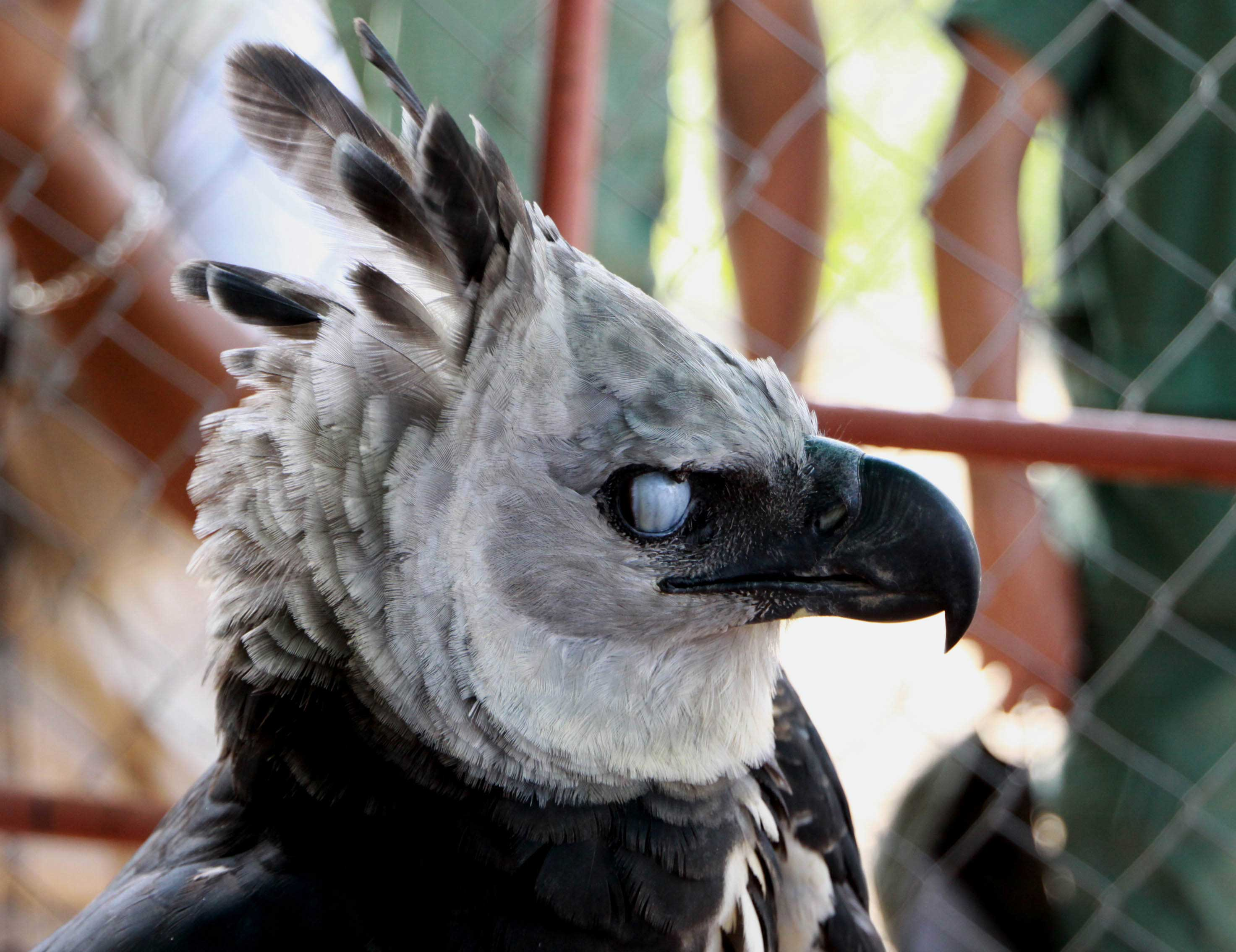 4 harpy eagle hd wallpapers backgrounds wallpaper abyss